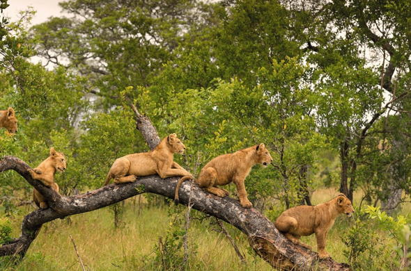 Lion cubs in a tree in Singita Private Game Reserve.