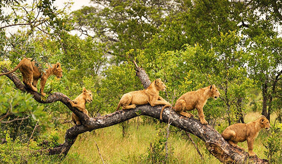 Lion cubs in a tree in Singita Game Reserve.